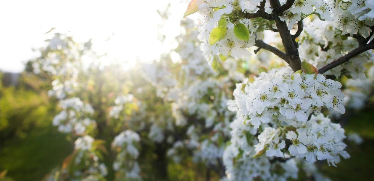 blossoms-west-kelowna-westside-farmloop