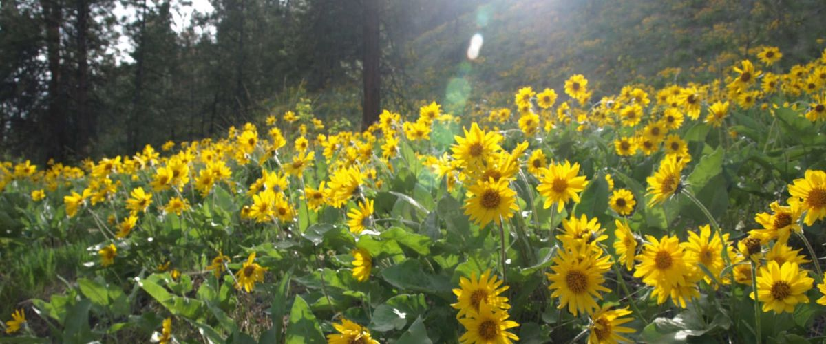arrowleaf balsamroot flower