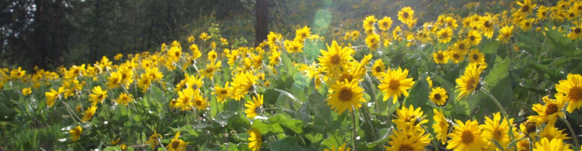 arrowleaf balsamroot flower