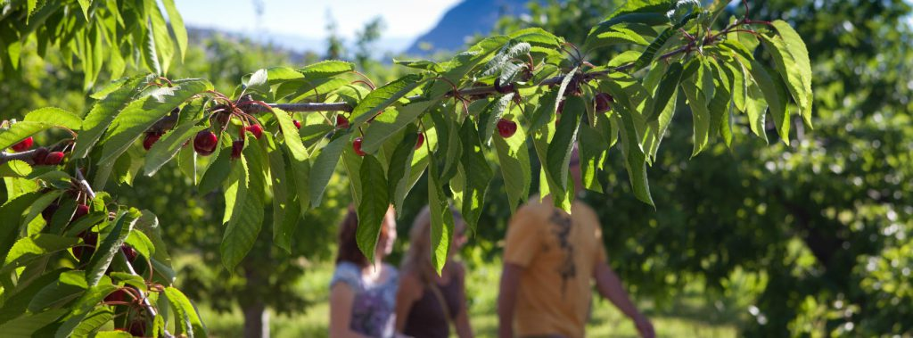 cherry picking west kelowna
